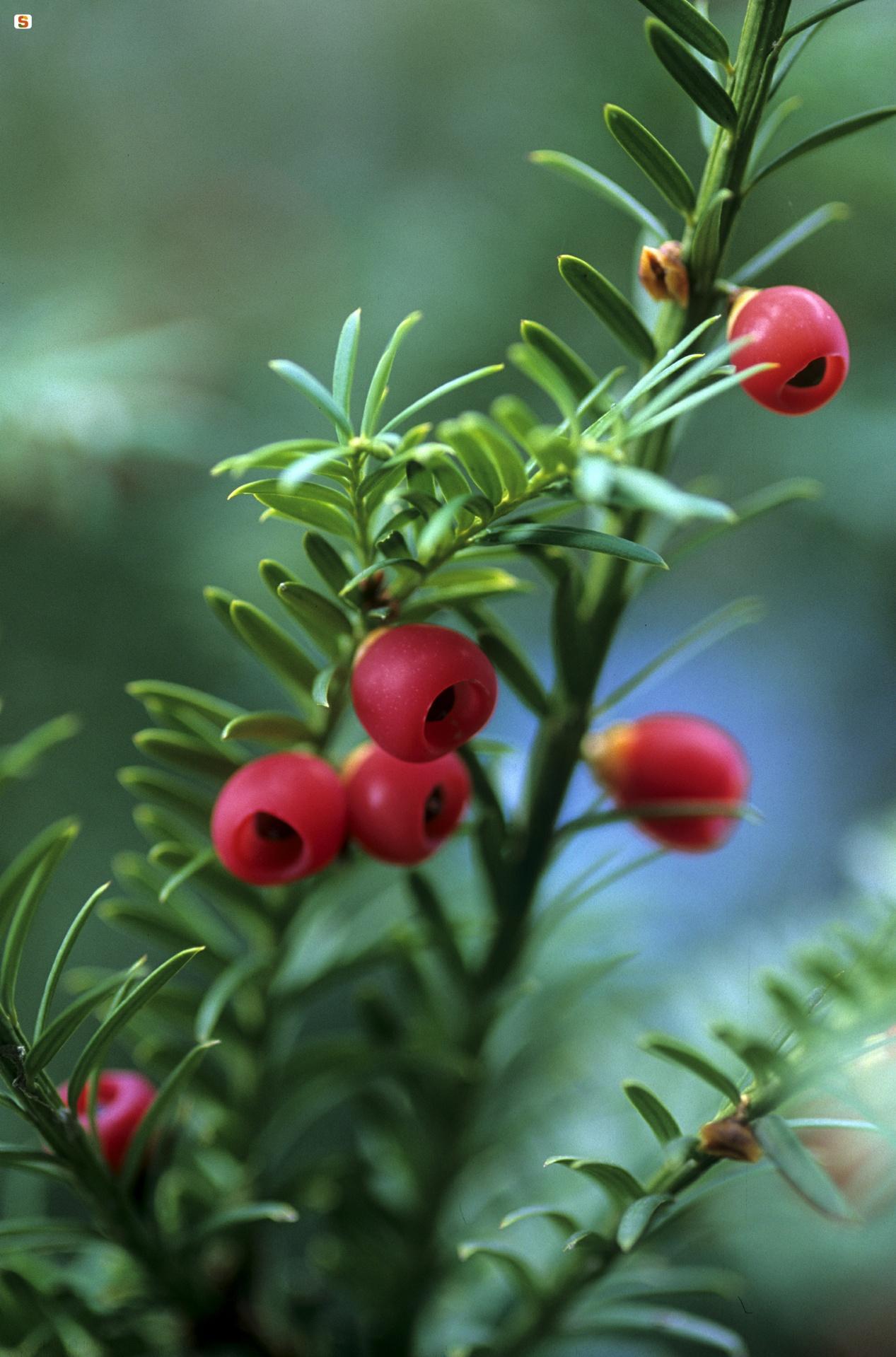 Frutto del Tasso, Taxus baccata, Foresta di Badde Salighes