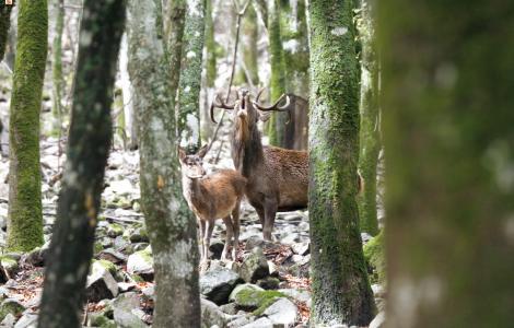 Poderoso bramito di un Cervo maschio - Ruiu Domenico