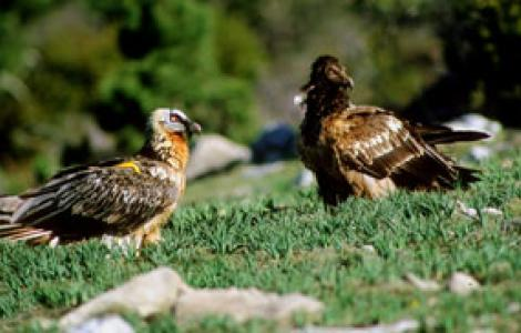 Avvoltoio degli agnelli adulto e giovane
