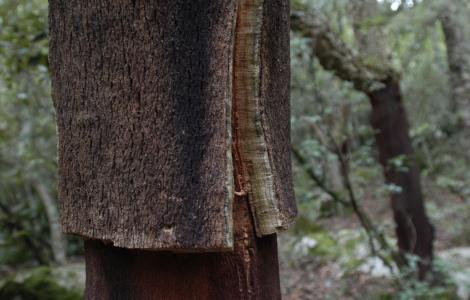 quercia da sughero