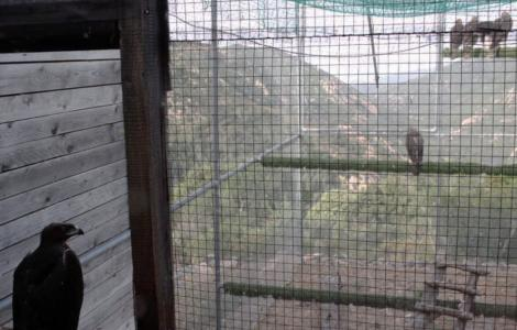 La voliera di pre-ambientamento gestita da Forestas a Tepilora