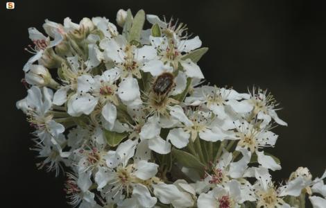 Perastro o pero selvatico (Pyrus pyraster)
