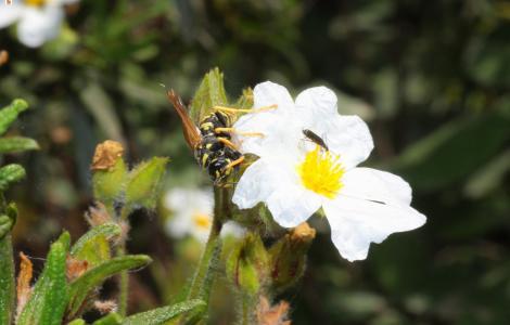 insetti su fiore di Cisto di Montpellier - foto A. Chiaramida