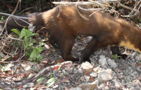 La Martora reintrodotta presso il Complesso Forestale di Usellus