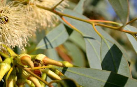 fioritura di eucaliptus
