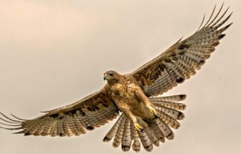 Aquila fasciata (o del Bonelli) in volo (foto: progetto life aquila-a-life.org)