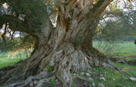 Gallura, olivastro millenario