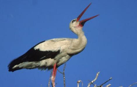 Cicogna bianca, foto da DigitalLibrary
