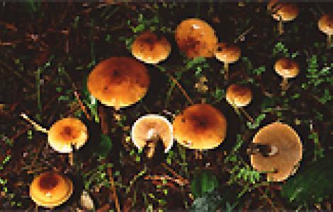 Funghi Hebeloma mesophaeum