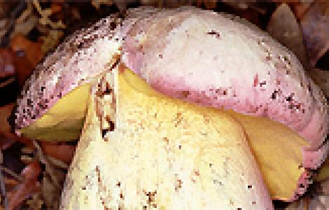 Boletus pulchrotinctus
