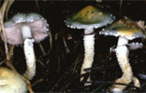 Stropharia aeruginosa