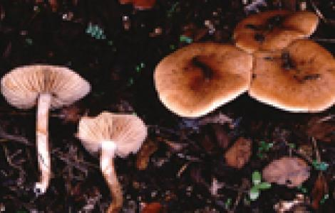 Hebeloma cistophilum