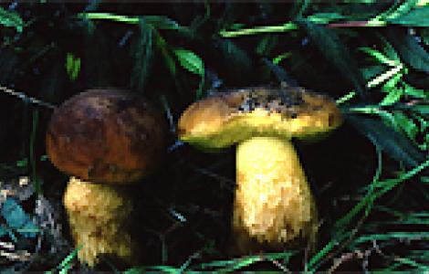 Funghi: Leccinum corsicum