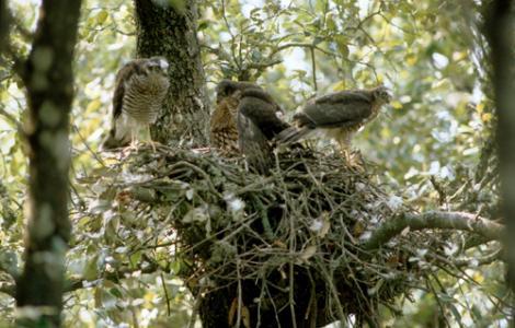 Sparviere nidificazione