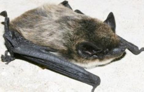 Pipistrello di Savi-Foto M.Mucedda
