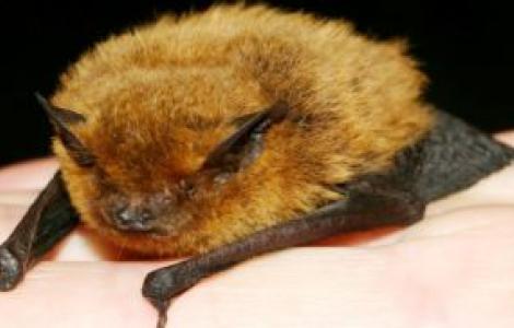 Pipistrello albolimbato-Foto M.Mucedda