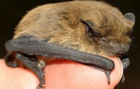 Pipistrello nano-Foto di M.Mucedda
