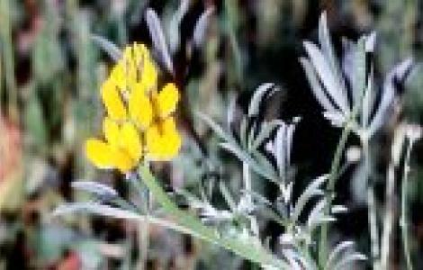 Lupinus luteus  (ph: G. Lai)