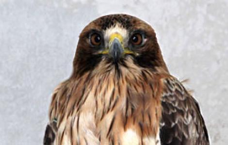 Aquila minore ferita, ricoverata nel Centro Fauna di Bonassai