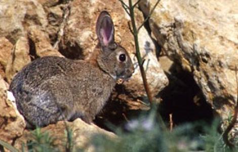 Coniglio selvatico, Oryctolagus cuniculus huxley