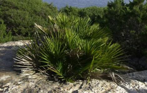 Capo Caccia, palma nana