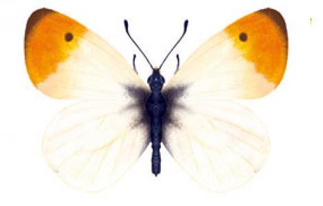 Aurora (Anthocharis cardamines)
