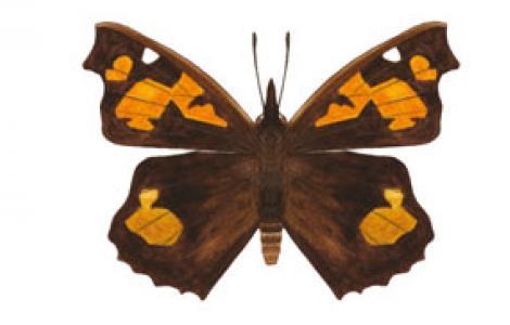 Libitea del Bagolaro (Libythea celtis)
