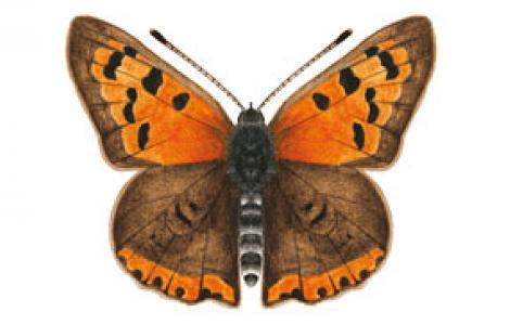 Argo bronzeo (Lycaena phlaeas)