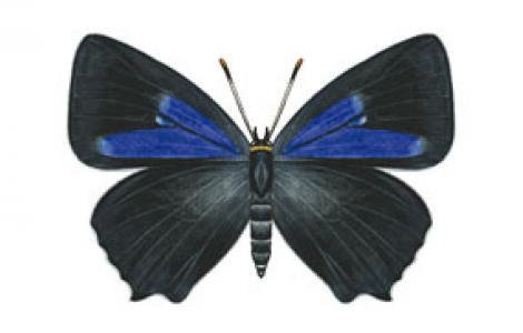 Tecla della Quercia (Favonius quercus)