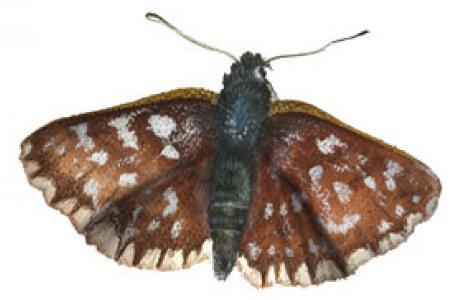 Esperide sardo-corsa (Spialia therapne)