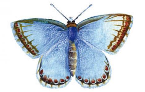 Argo del Gennargentu (Polyommatus coridon gennargenti)