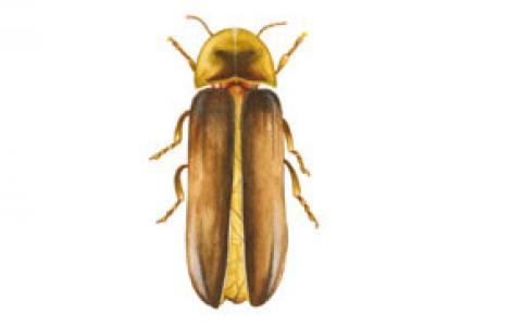 Lucciola di Sardegna (Lampyris sardiniae)