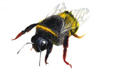 Bombo (Bombus terrestris sassaricus)