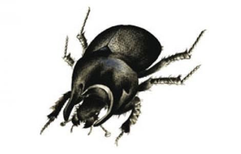 Scarabeo dalle corna sardo (Chelotrupes matutinalis)