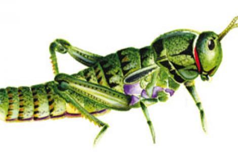 Panfago sardo (Pamphagous sardeus)