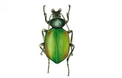 Sicofante (Calosoma sycophanta)