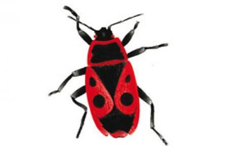 Cimicetta rosso nera (Pyrrhocoris apterus)
