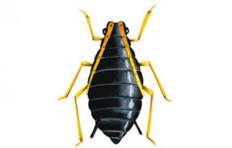 Afide nero della fava (Aphis phabae)