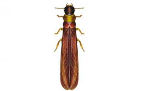Termite dal collo giallo (Kalotermes flavicollis)