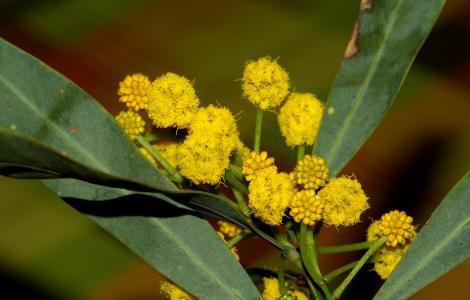 Acacia (Foto Sardegna Digital Library, collezione Alinari, autore Maisto Alberto)