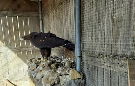 Aquila reale ricoverata a Monastir (agosto 2021)