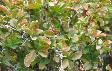 """""""File:Berberis aetnensis.jpg"""" by User:Tigerente is licensed with CC BY-SA 3.0. To view a copy of this license, visit https://creativecommons.org/licenses/by-sa/3.0"""