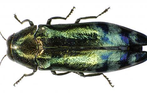 Coraebus_florentinus_Siga, CC BY-SA 3.0 <https://creativecommons.org/licenses/by-sa/3.0>, via Wikimedia Commons