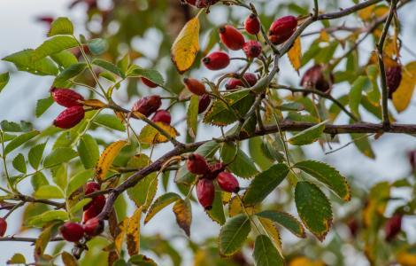 Cinorrodi (falsi frutti) di Rosa canina (foto Cristian Mascia)