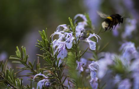 rosmarino in fiore (foto C.Mascia)