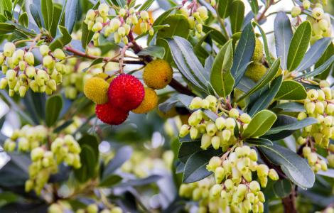 Corbrezzoli: foglie verdi, fiori bianchi, frutti rossi (foto C.Mascia)