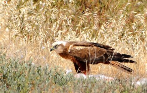 Falco con preda, foto da Sardegna Digital Library.jpg