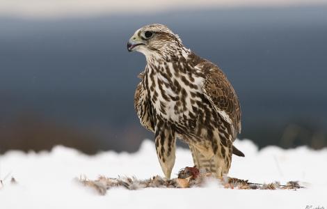 Falco_cherrug_1_(foto di Bohuš_Číčel, wikimedia, Herálec, Czech Republic)