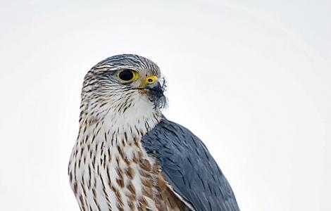 Falco_columbarius (foto CC  wikimedia di Raj Boora from Edmonton, Canada)