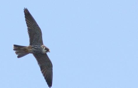 Falco_subbuteo (Lasy Janowskie, Poland, da Wikimedia Commons, licenza CC
